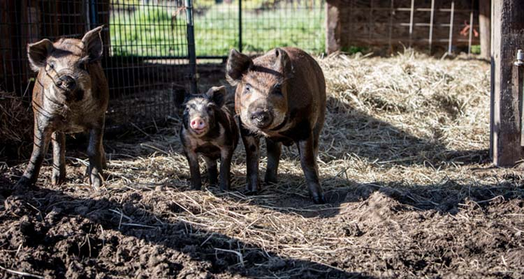 quivira-wines-farming-image-pigs