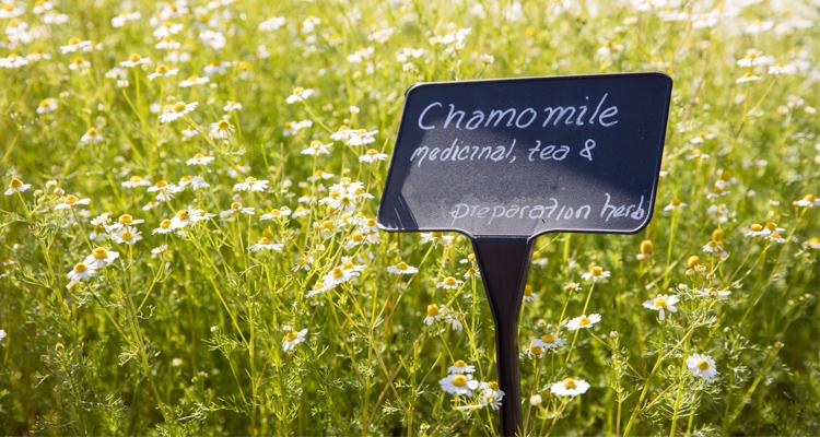 chamomile-web