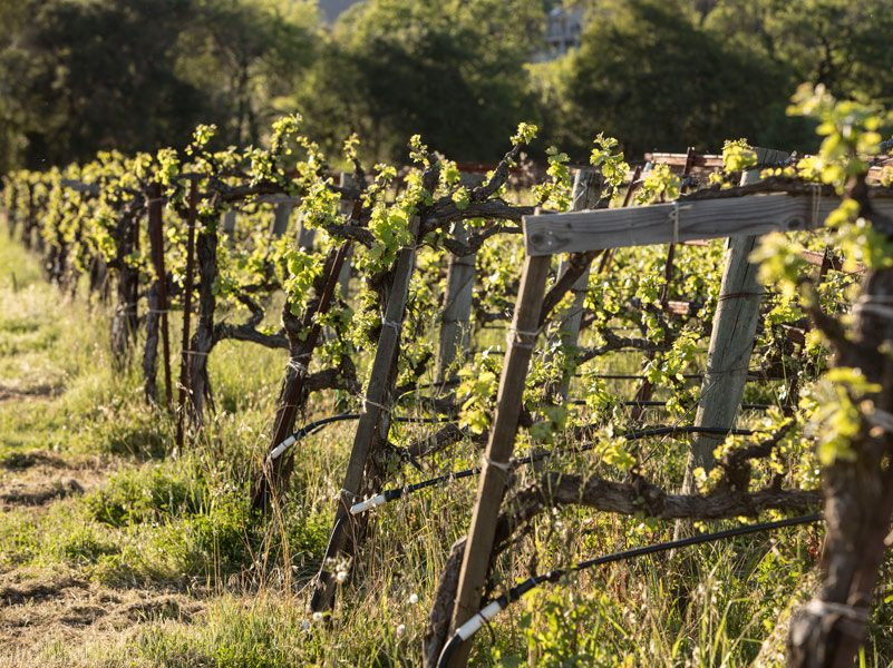 Grapevines on wooden trellis in spring